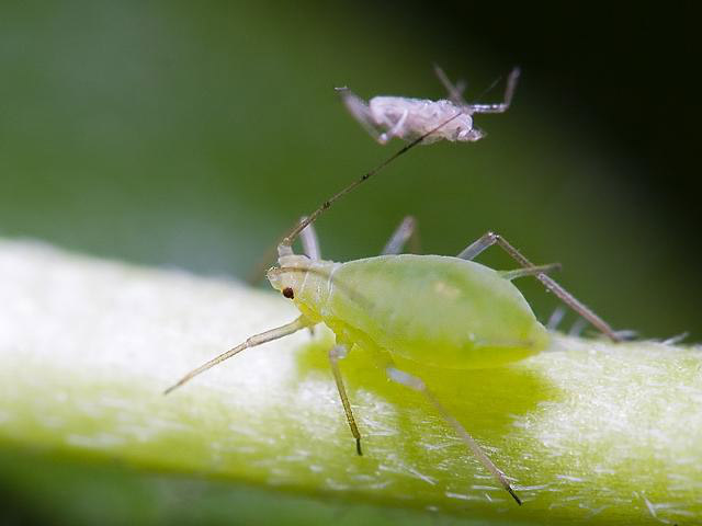 蚜虫防治菌剂-蚜必净用途