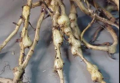 根结线虫的发生原因及规律
